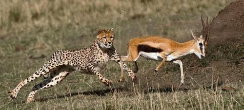 11_Cheetah Chasing Gazelle