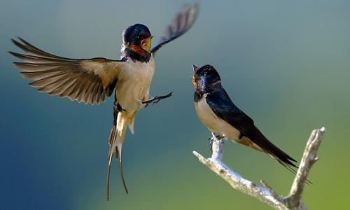 16_Barn Swallows