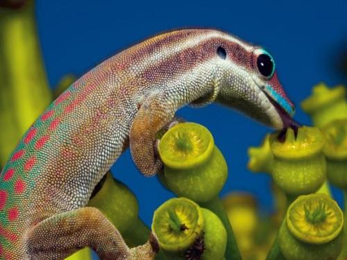 1_Ornate Day Gecko, Mauritius