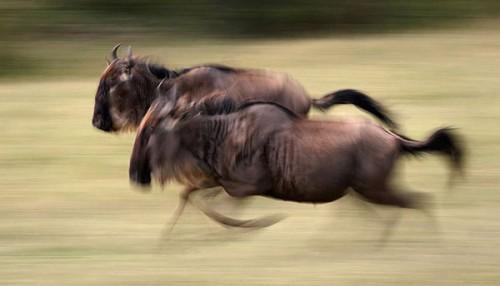 20_Wildebeest Running