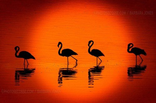 21_Flamingos at Sunset. Nakuru. Kenya.