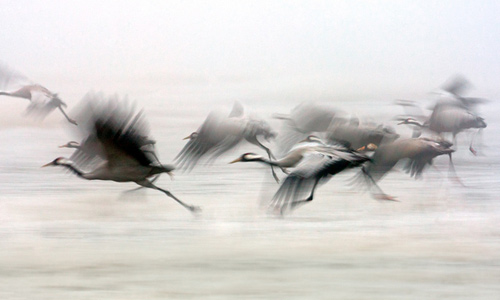 22_Cranes in the Fog