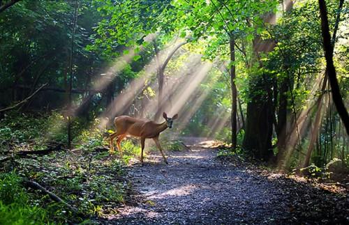 24_Deer with Sunrays
