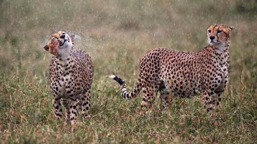 26_Soaking Wet Cheetahs