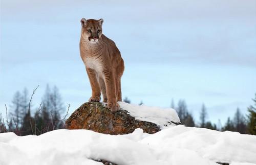 2_Mountain Lion