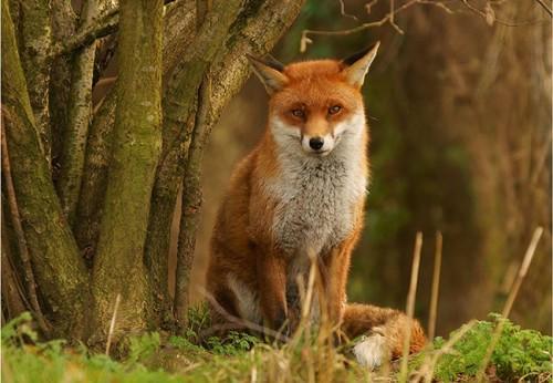30_Fox