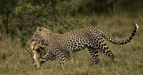 33_Leopard and Prey