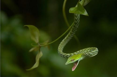 34_Green Vine Snake