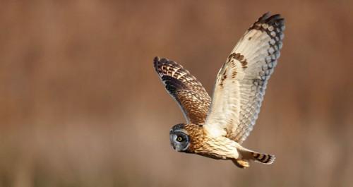 8_Short Eared Owl in Flight