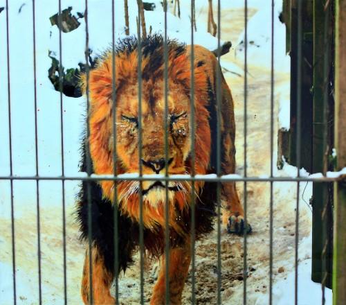 2_Lion Panel
